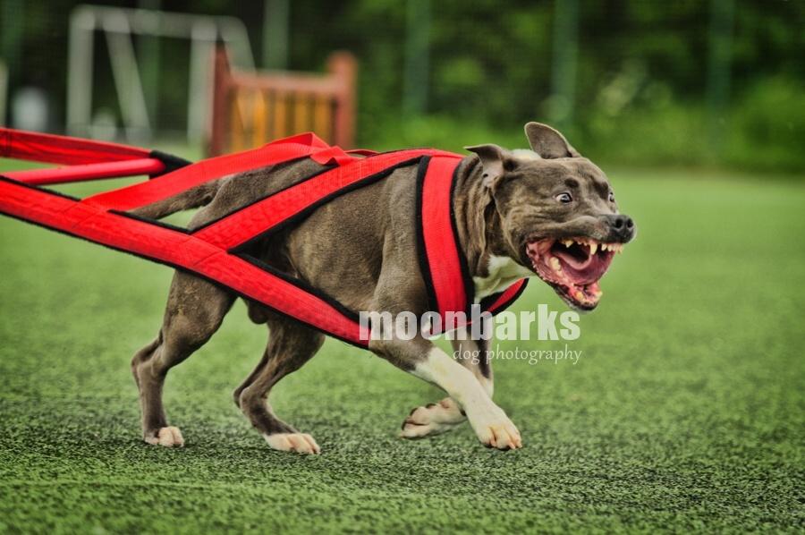 Profesionální fotograf AMSTAFF STAFFBULL PITBULL psů